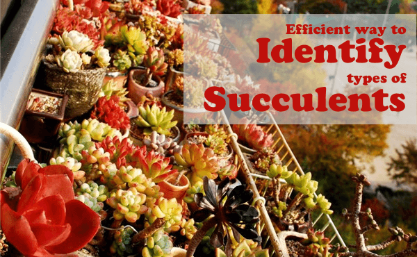 how to identify my succulent
