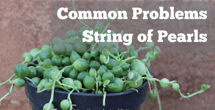 common problems with string of pearls plant