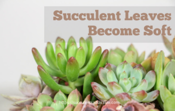 What to do if Succulent Leaves Become Soft